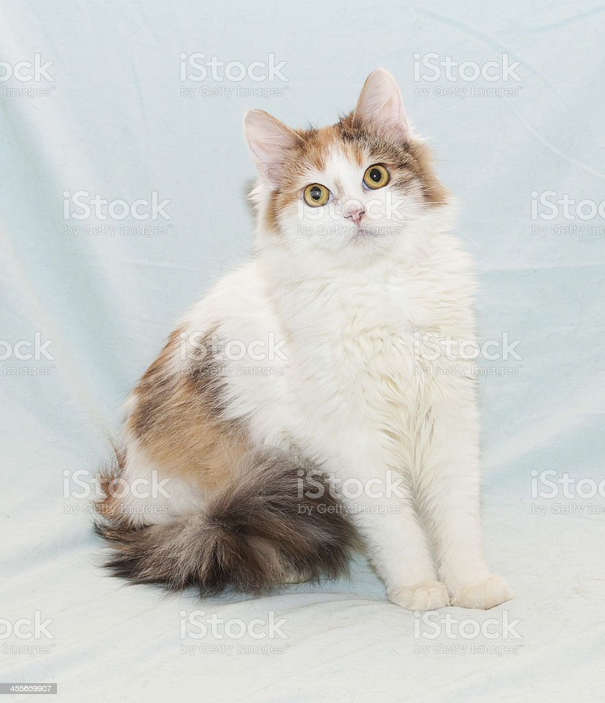 Tricolor fluffy cat with yellow eyes sitting stock photo