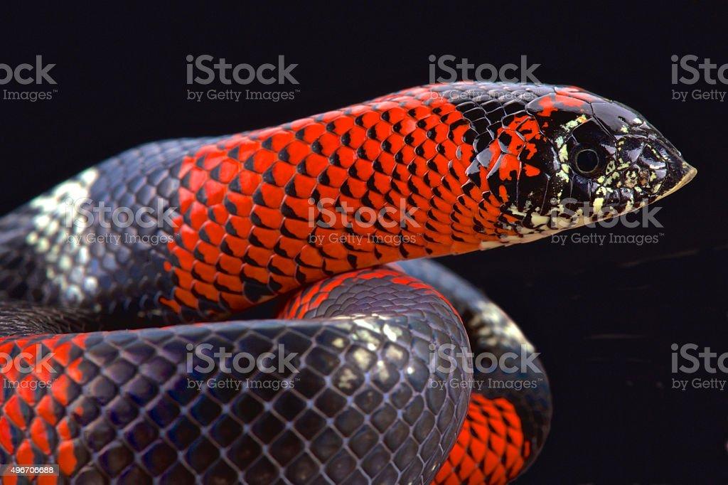 Tri-color hognose snake (Lystrophis pulcher) stock photo