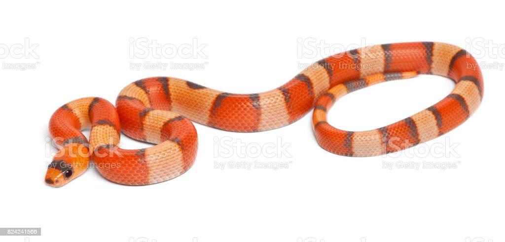 Tricolor hypomelanistic Honduran milk snake, Lampropeltis triangulum hondurensis, in front of white background stock photo