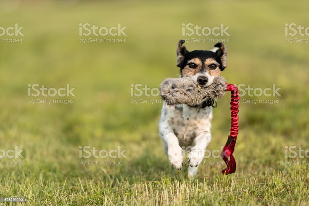 Tricolor Jack Russell Terrier 8 years old - hair type: broken - small cute hunting dog running fast with a toy in the mouth over a meadow and plays - Photo: Perspective from below on ground level stock photo