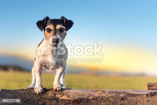 istock Tricolor Jack Russell Terrier dog - hair style broken - cute little dog sits on tree trunks in sunset 900721788