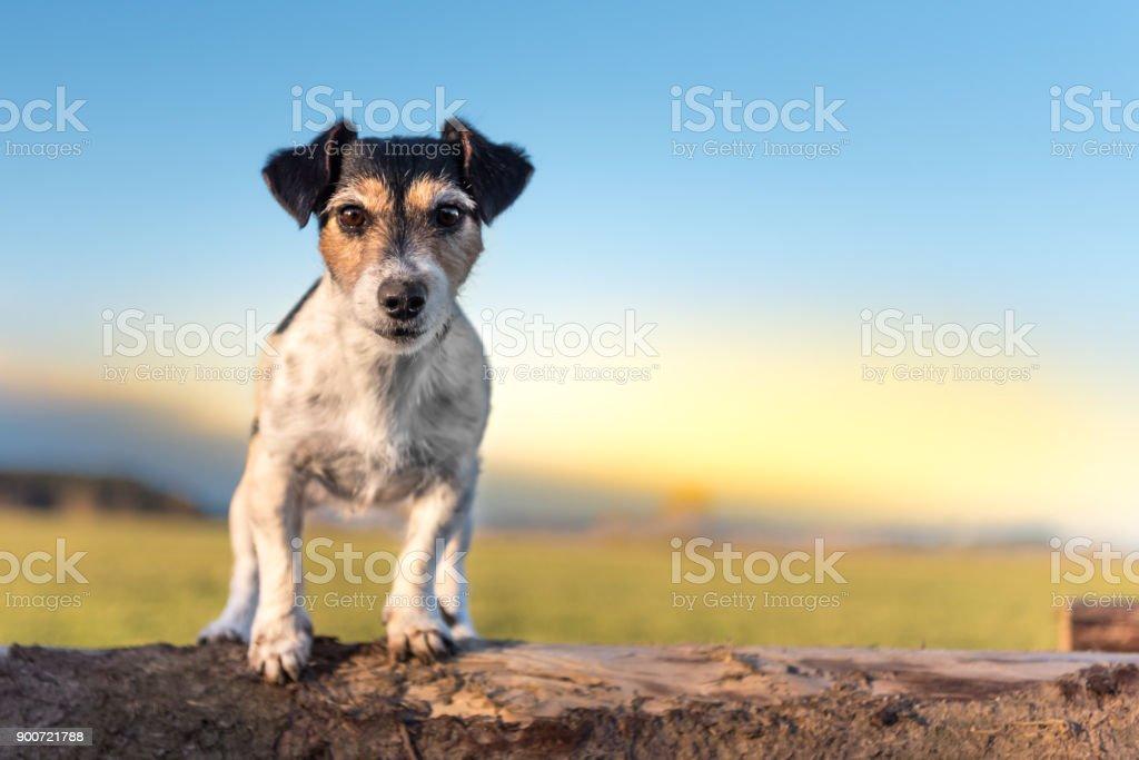 Tricolor Jack Russell Terrier Hund - Frisur gebrochen - niedlichen kleinen Hund sitzt auf Baumstämmen im Sonnenuntergang – Foto