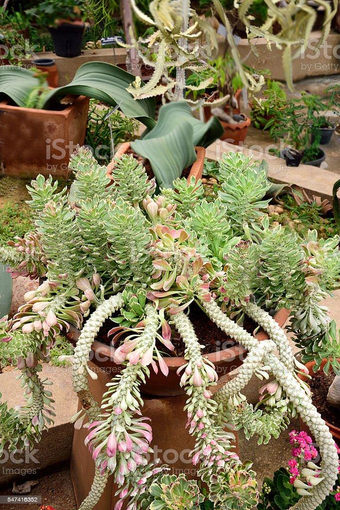 Tricolor jade plants stock photo