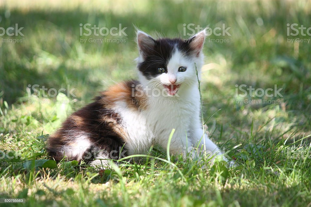Tricolor kitten sitting on the grass meowing stock photo