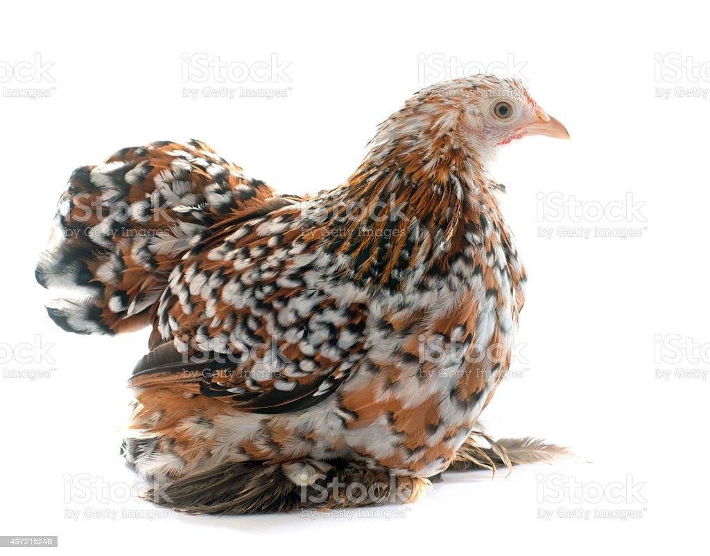 tricolor Pekin chicken stock photo