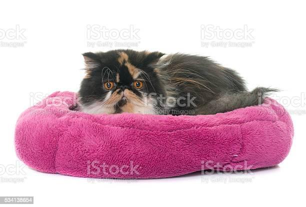 Tricolor persian cat picture id534138654?b=1&k=6&m=534138654&s=612x612&h=56p c s48pqo kvhsmozdyjjsvx5kkmlluqev81da0s=