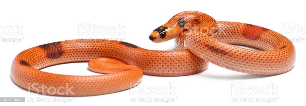 Tricolor sunrise patternless reverse Honduran milk snake, Lampropeltis triangulum hondurensis, in front of white background stock photo