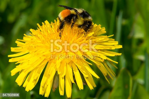 Tricolored Bumblebee collecting nectar from a dandelion flower.