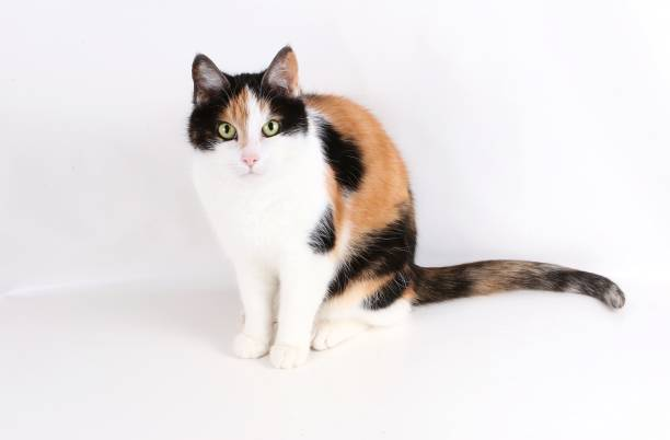 tricolored cat is sitting in the studio beautiful tricolored cat portrait in the studio tortoiseshell cat stock pictures, royalty-free photos & images