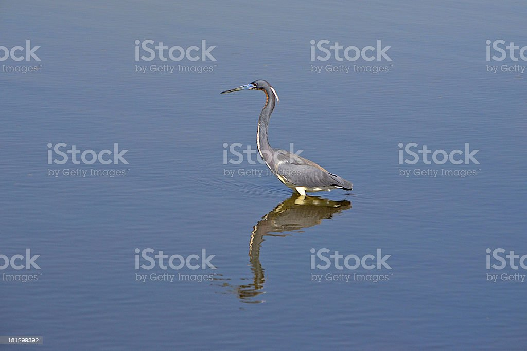Tricolored Heron - Everglades royalty-free stock photo