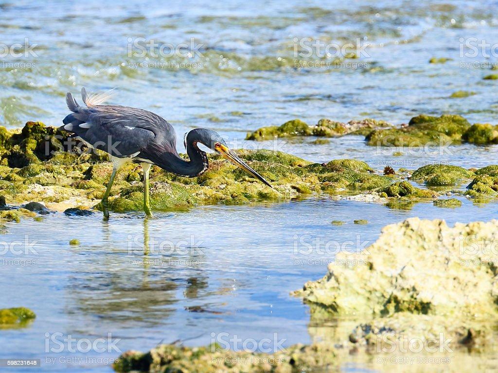 Tricolored heron (Egretta tricolor) hunting in a seashore foto royalty-free
