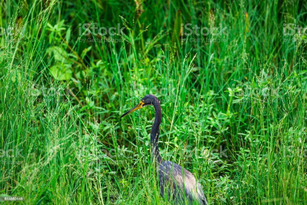 Tricolored heron in nature reserve stock photo
