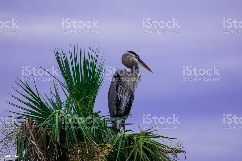 Tricolored heron perched in palm tree stock photo