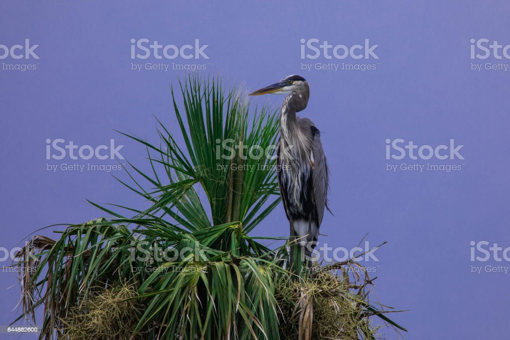 Tricolored heron perched on palm tree stock photo
