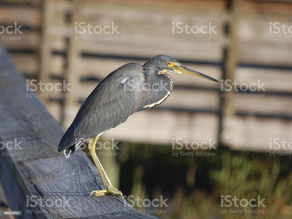 Tricolored Heron royalty-free stock photo