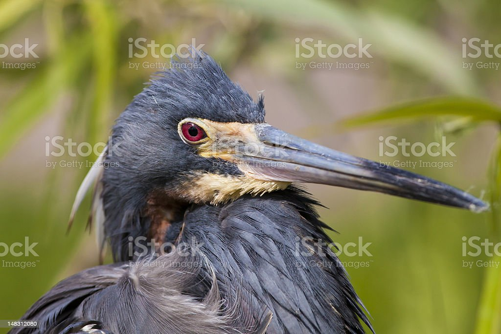 Tricolored Heron portrait in the Everglades royalty-free stock photo