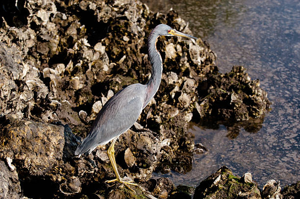Tricolored Heron searching for food stock photo