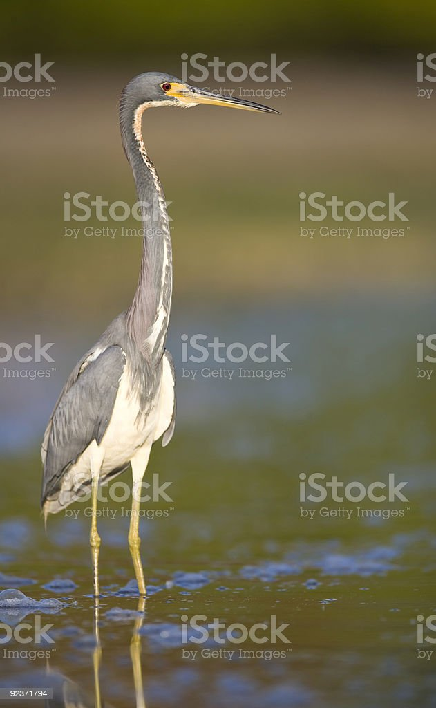 Tri-Colored Heron standing in the water royalty-free stock photo