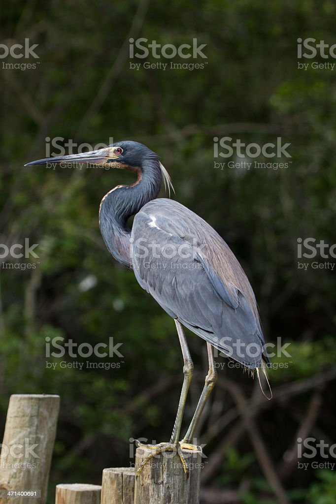 Tricolored Heron standing on post stock photo