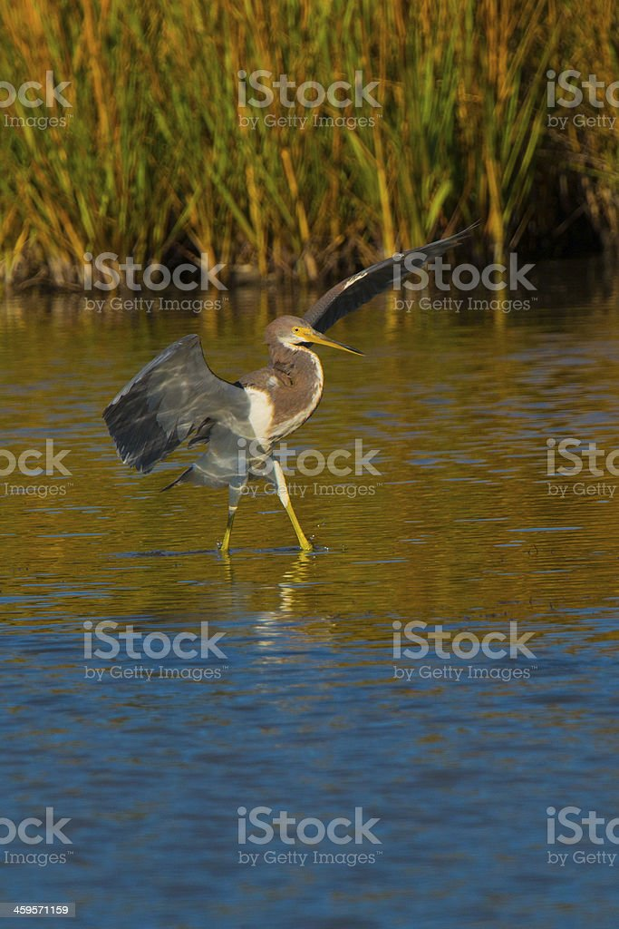 Tricolored Heron Stepping stock photo