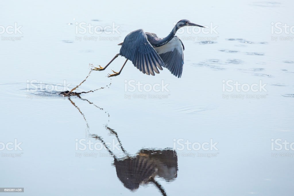 Tricolored heron taking off with wings outspread, Merritt Island, Florida. stock photo