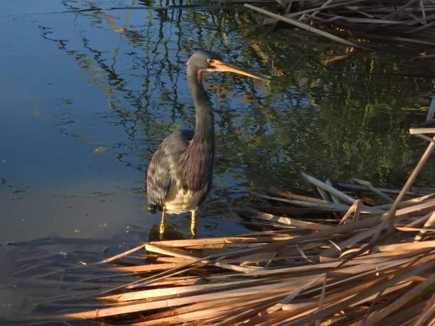 Tricolored heron wading at sunset stock photo