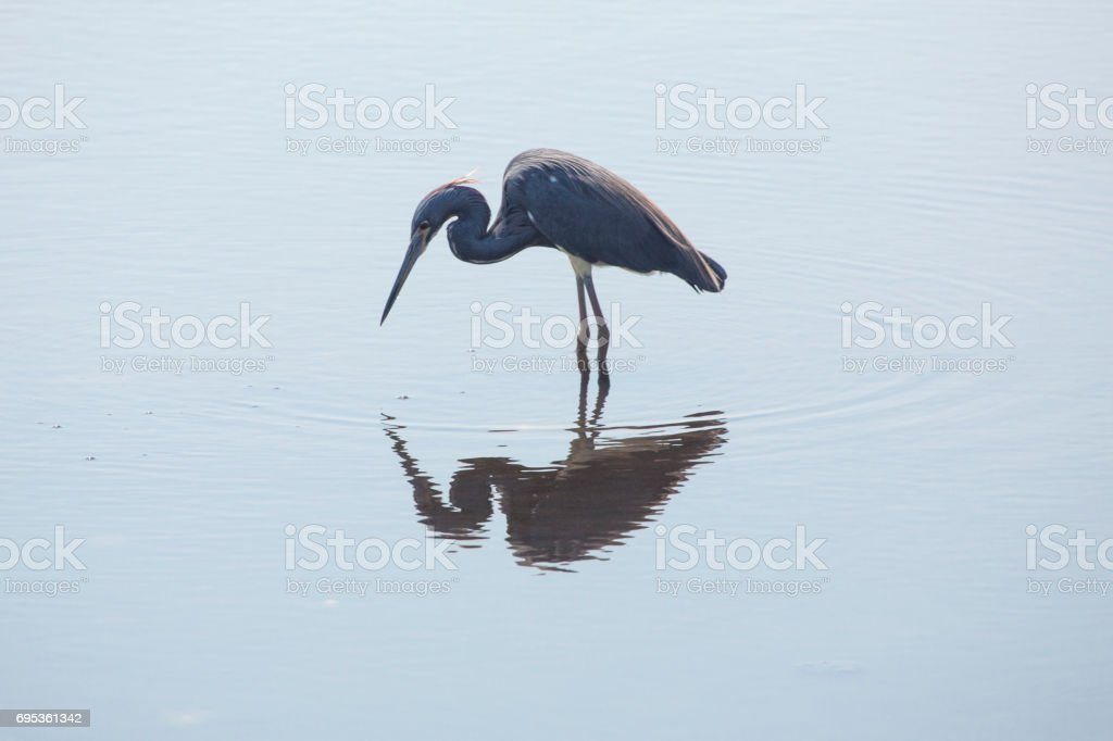 Tricolored heron wading in a pond at Merritt Island, Florida. stock photo