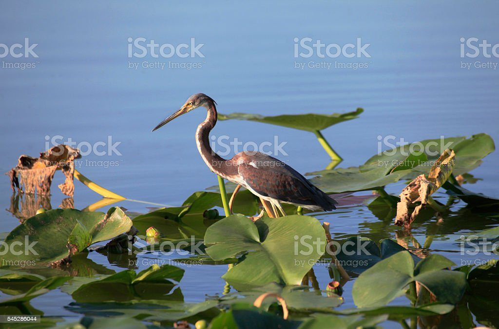 Tricolored Heron Walkes Across Lilly Pads stock photo