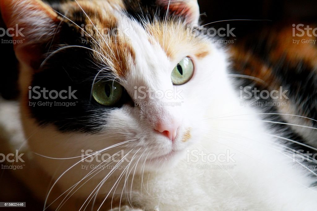 Tricolour cat with green eyes