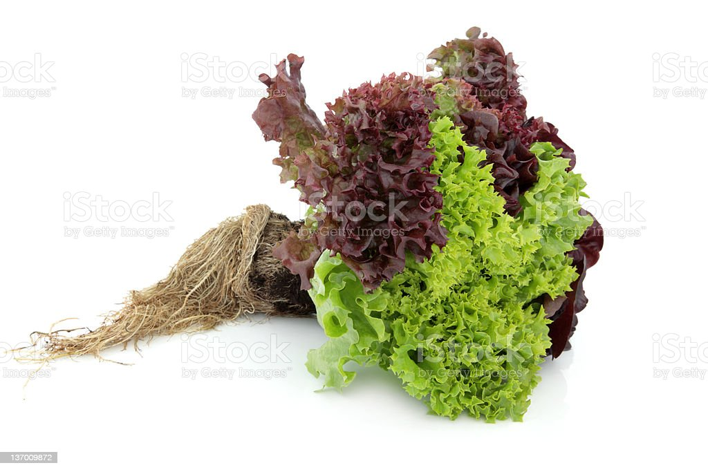 Tricolour Lettuce Plant stock photo