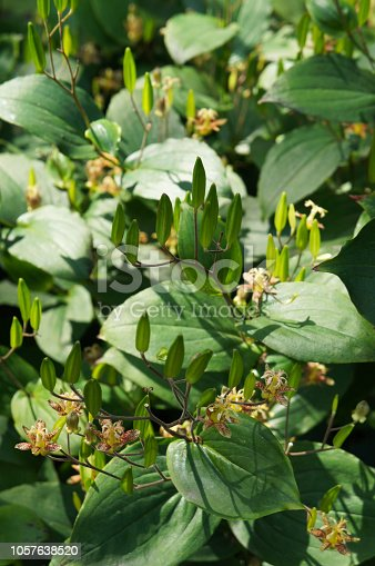 Tricyrtis latifolia yellow sunrise or toad lily plant