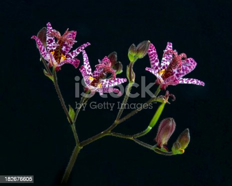 Unusual flowers of the tricyrtis or 'Toad Lily'