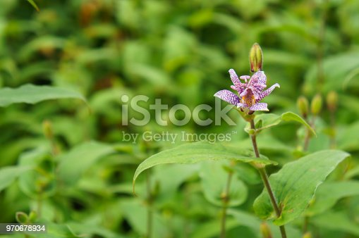 Tricyrtis pink freckles or toad lily purple flower with green background