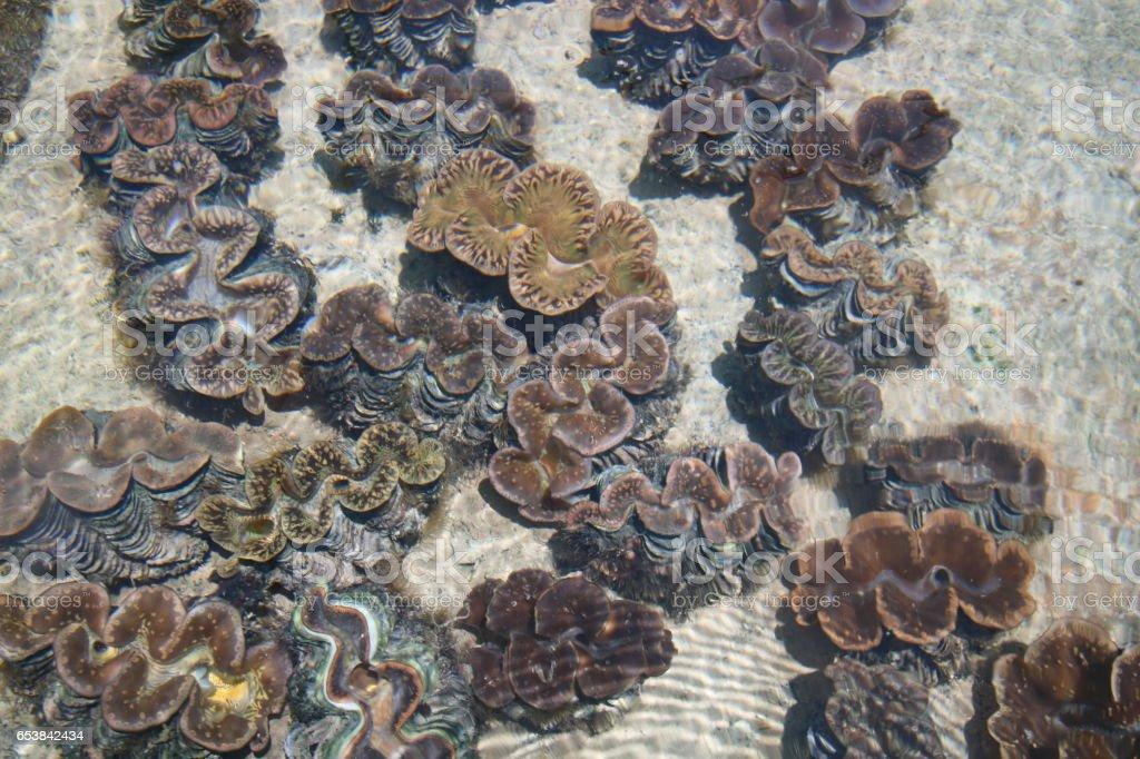 Tridacna Maxima Giant Clam Black Pearl Praslin Seychelles Indian