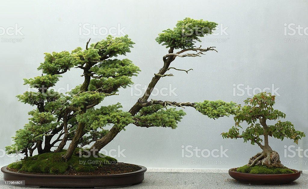 Trident maple & Sawara Cypress royalty-free stock photo