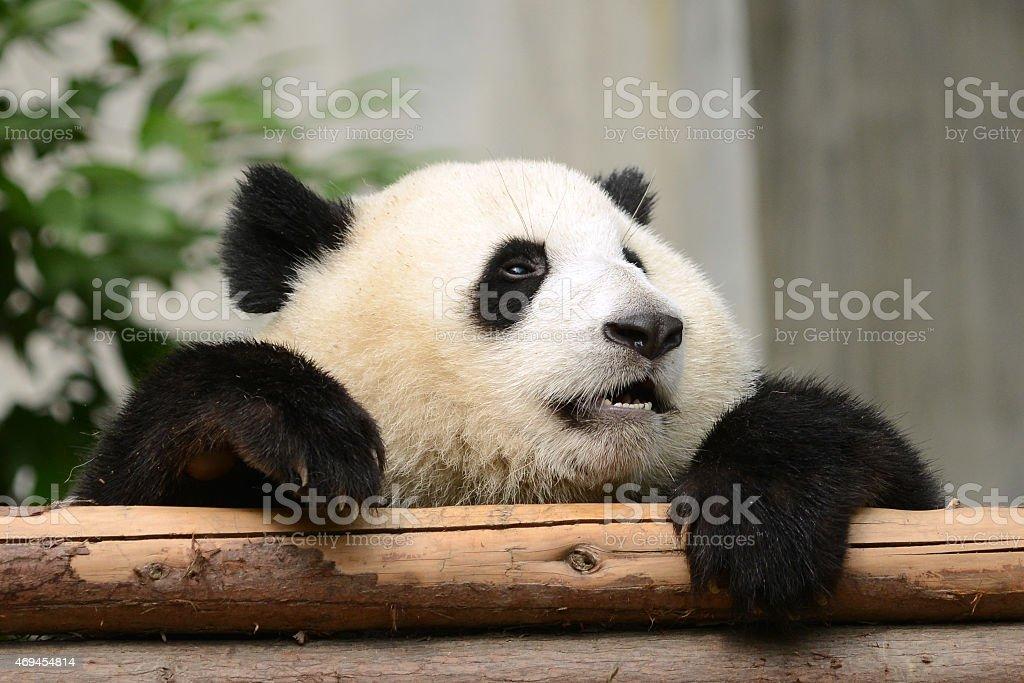 Tried and Sad Cub baby Giant Panda on wood stock photo