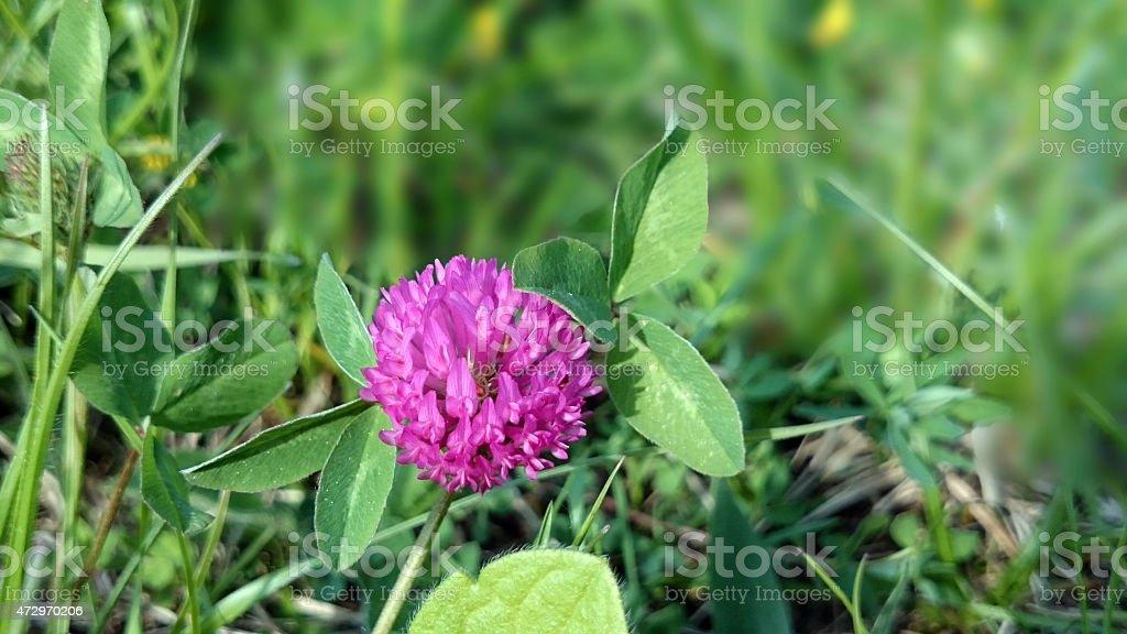 Trifolium pratense or red clover stock photo