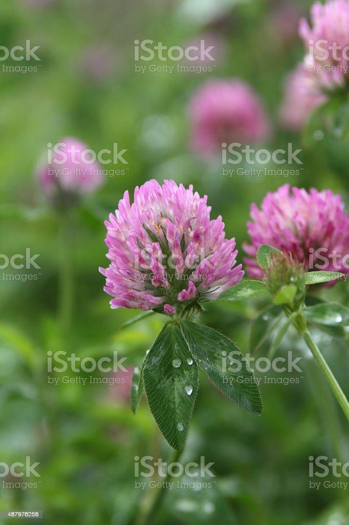 Trifolium pratense ストックフォト