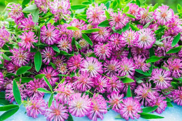 Trifolium Pratense. Rotklee-Blüten. Schönen lila Wildflower Blumenstrauß. Heilpflanzen. – Foto
