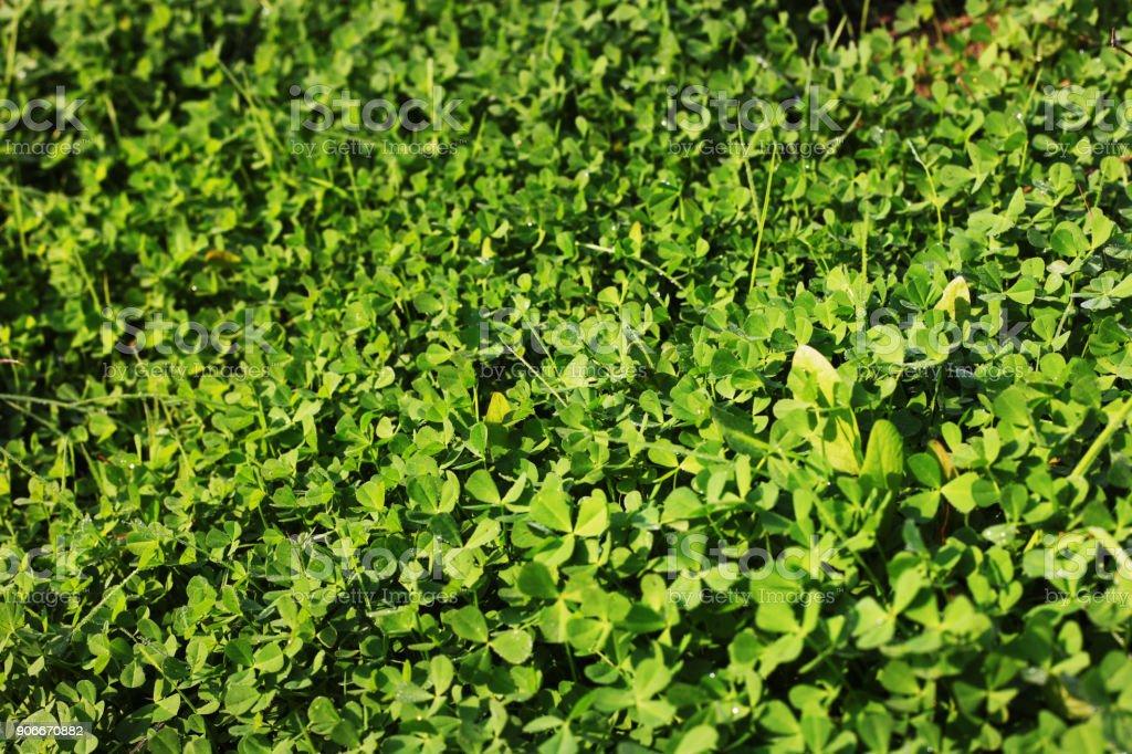 Trifolium repens backgrounds stock photo