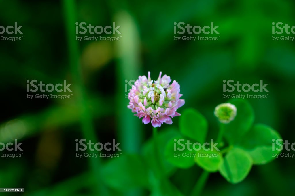 Trifolium repens. Field flower. stock photo