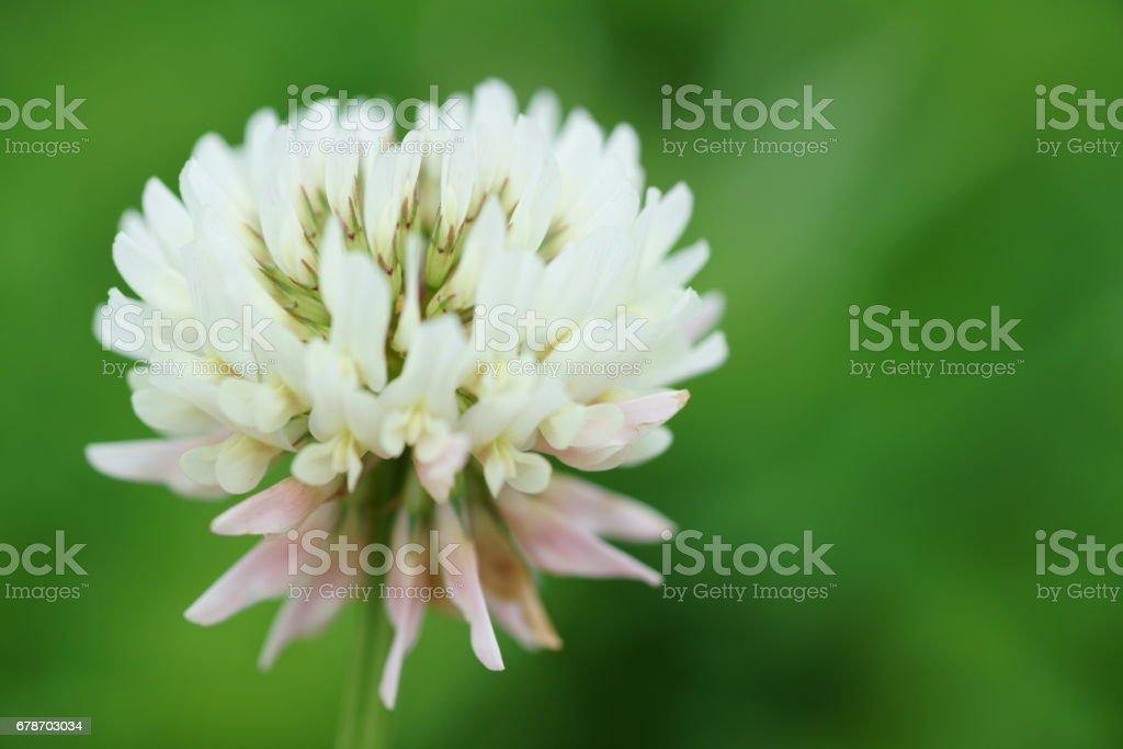Trifolium repens photo libre de droits