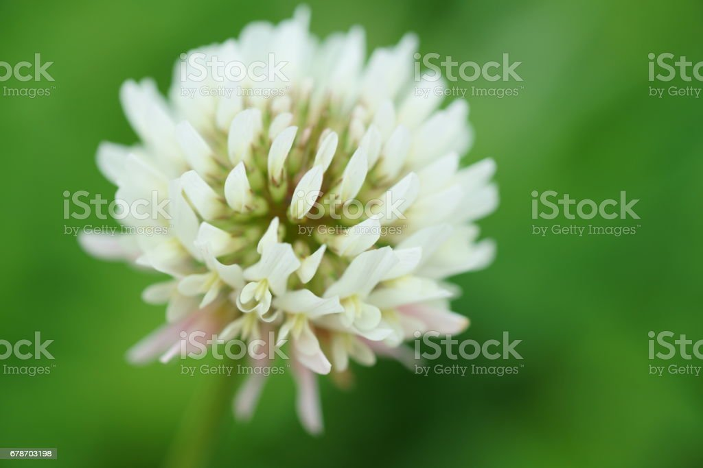 Trifolium repens photo libre de droits