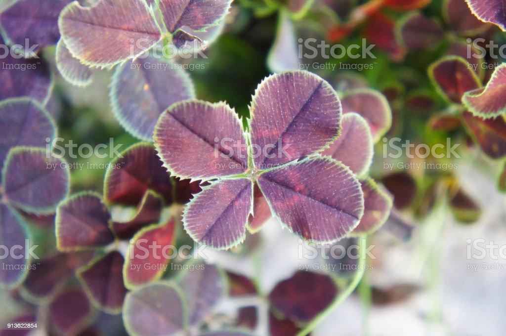 Trifolium repens purpurascens quadrifolium four leaf plant stock photo