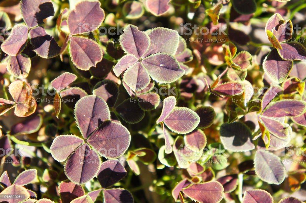 Trifolium repens purpurascens quadrifolium many four leaf plant stock photo