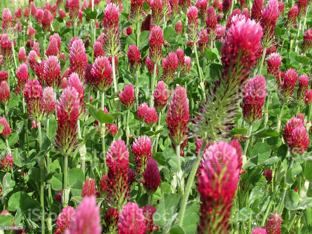 Trifolium rubens red clover stock photo