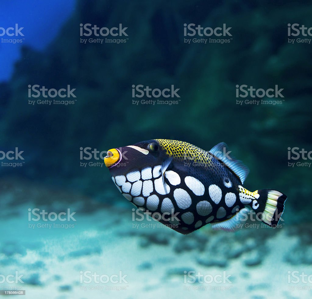Triggerfish royalty-free stock photo