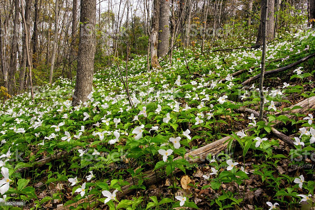 Trillium bed Growing on a Forested Hillside stock photo