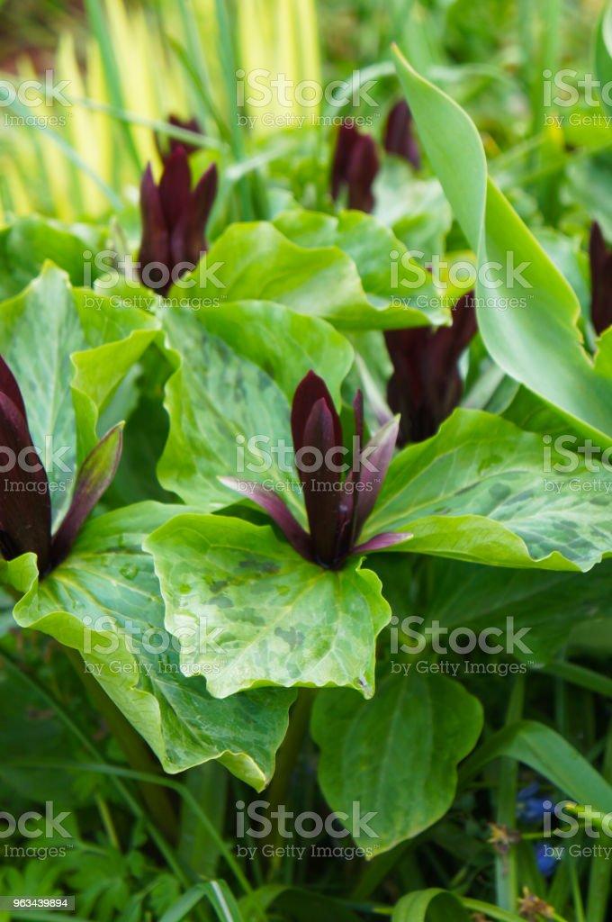 Trillium cuneatum eller liten söt betsy gröna och lila växt - Royaltyfri Blomkorg - Blomdel Bildbanksbilder