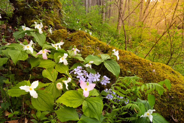 Trillium flowers and moss covered log stock photo